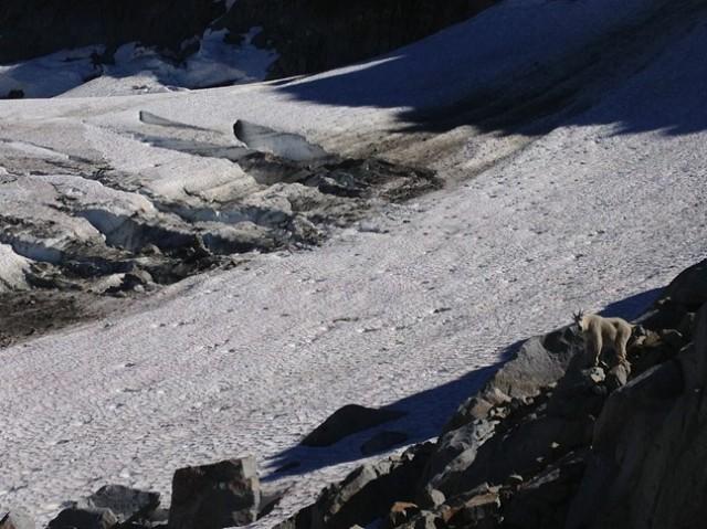 Mountain goat enjoys the glacier