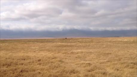 Buffalo chasing lion