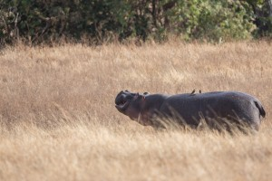 Frolicking hippo